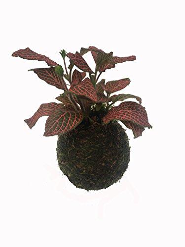 Kokedama - Kokedama Fittonia - Altura aprox. 15cm. - Planta viva - (Envíos sólo a Península)