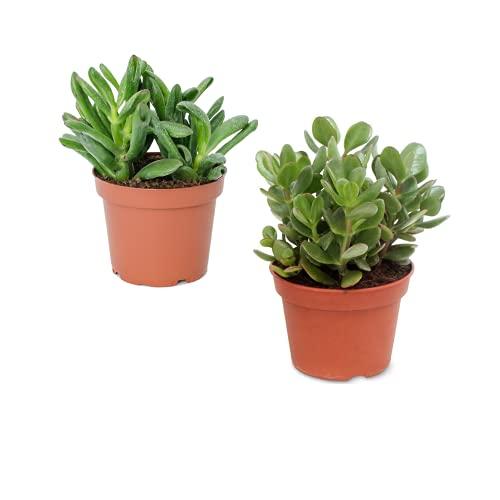 Planta de Jade y Crassula Hobbit Pack Ahorro de Dos Suculentas Naturales