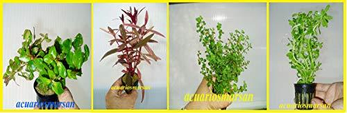 Planta DE Acuario Lote DE 4 VARIEDADES