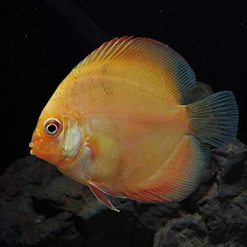 (熱帯魚)ピジョン ブラッド ディスカス タイ産(約6cm)(1匹)[生体]