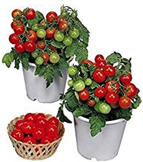 Harley Seeds 30+ ORGANICALLY Grown Dwarf Red Robin Tomato Seeds, Heirloom Non-GMO, Sweet, Low Acid, Determinate, Open-Pollinated, Delicious, from USA