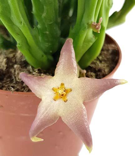 Stapelia divaricata - hell blühende Aasblume - pflegeleichte Sukkulente - Stapelie - Zimmerpflanze