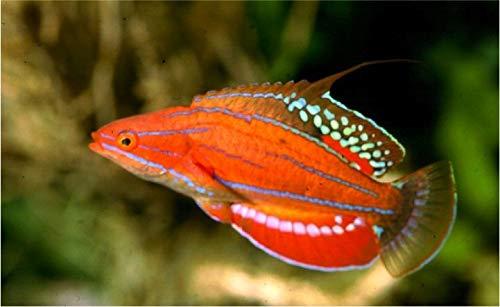 【海水魚/観賞魚/ベラ】カーペンターズラス ■サイズ:4cm± (1匹)