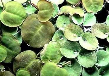 20 x Wasserwolfsmilch (Phyllanthus), Schwimmpflanze