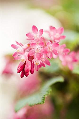 Blutjohannisbeere Ribes sanguineum 'King Edward VII' im Topf gewachsen 60-100cm