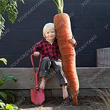 Vistaric 100 / pcs Super Large Carrot Seeds In Bonsai Riesen Karotte Samen Gemüse Und Obst Samen Organische Gesunde Samen Für Hausgarten Schwarz