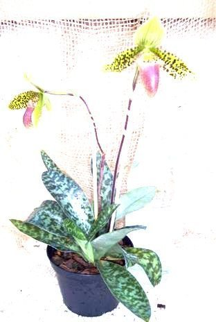 1 blühfähige Orchidee der Sorte: Paphiopedilum sukkahkulii, 12cmTopf