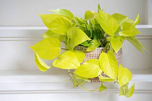 Epipremnum 'Golden Pothos' 15-20 cm - leuchtende Efeutute - Zimmerpflanze - Grünpflanze