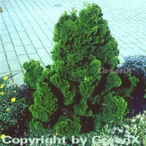 Muschelzypresse Nana Gracilis 50-60cm - Chamaecyparis obtusa