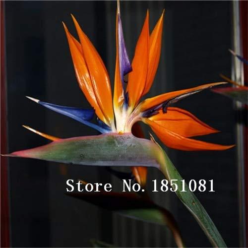 AGROBITS 100pcs / pots pack. Flower aux planteurs Toutes sortes de couleurs Strelitzia graines de semences reginae paradis des oiseaux hybride Bonsai Graines de fleurs: Noir