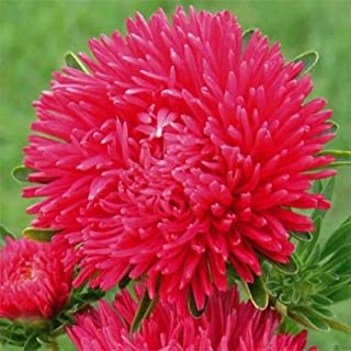 Outsidepride Scarlet Paeony Aster Seeds - 1000 Seeds