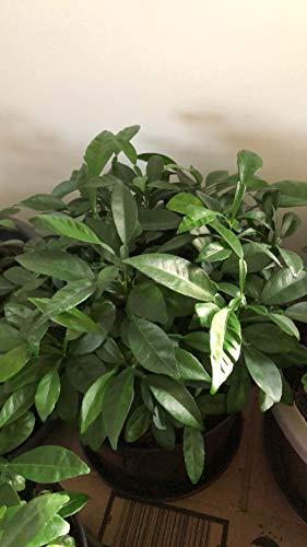 1 Pflanze YUZU 5-10 cm