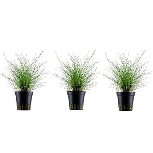 Aquarium Pflanze Eleocharis parvula 3 Stück Wasserpflanze Nr.132C Aquariumpflanzen Set