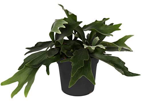 Geweihfarn, (Platycerium bifurcatum) Zimmerpflanze, Zimmerfarn, kräftige Pflanze, (im 17cm Topf, ca. 40cm hoch)