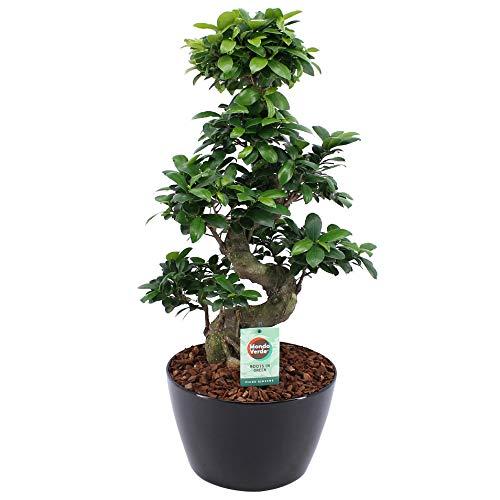 Bonsáis de Botanicly – Ficus bonsai en maceta negra como un conjunto – Altura: 60 cm – Ficus Gin Seng