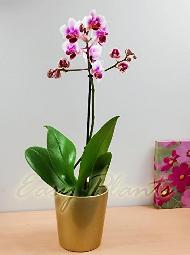 1 Moth Orchid Flower Table Plant @ Gold...