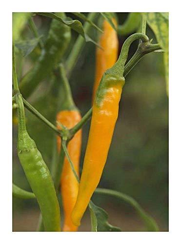SANHOC Samen-Paket: Chili orange Cayenne - Hot Pepper orange Cayenne - 30 SeedsSEED