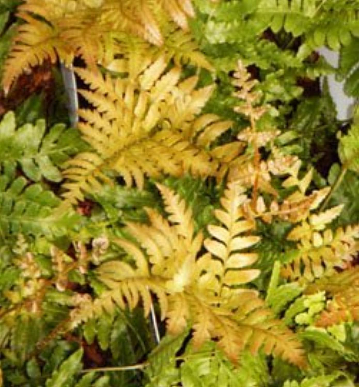 Autumn Brilliance Fern Potted Plants (1 order contains 2 potted plants) by Autumn Brilliance Ferns at Greenwood Nursery