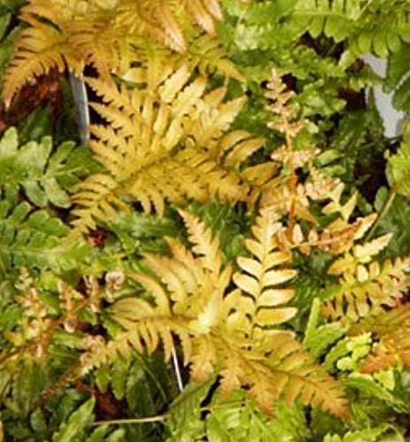 Autumn Brilliance Fern Potted Plants (1 order contains 2 potted plants) by Autumn Brilliance Ferns at Grünwood Nursery