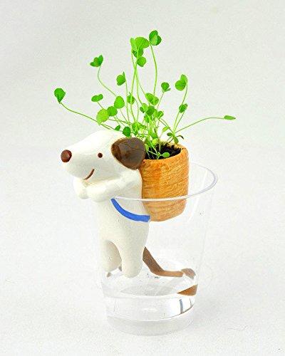 60 pcs / sac Acer palmatum seeds.Rare bonsaï graines de l'érable, érables japonais. Bricolage jardin bonsaï plantes d'intérieur.