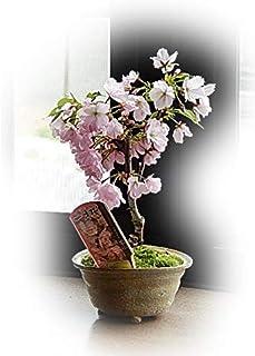 今年はチャレンジ サクラ盆栽でお花見 桜盆栽
