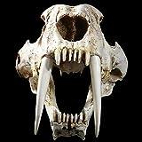 Caja De Decoración De Calavera1: 1 Generación Animal Gato Dientes De Sable Y Cráneo De Tigre Dragón Dientes De Sable Modelo De Espécimen Gordo Esqueleto Animal
