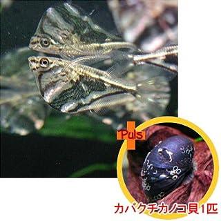 熱帯魚 マーブルハチェット2匹とカバクチカノコ貝1匹のセット 【北海道・九州・沖縄・離島は発送不可】 生体