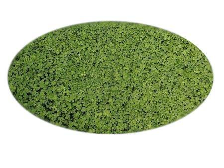 Mikroklee von Microclover für 50m² gleichmäßigen dichten ganzjährig grünen Rasen (100g Klee Samen / Rasensaat)