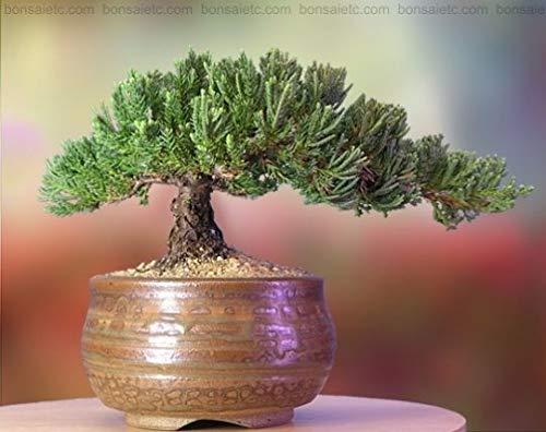 A Bonsai Juniper 6 to 7 Year Old Tree in Han-Kengai Cup