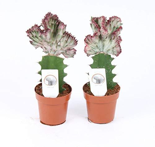 EUPHORBIA Lactea CRISTATA 30 cm ROT Zimmerpflanze Kakteen Sukkulent Kammartig Wellenartig Einzigartig unikat