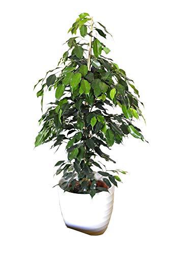 Zimmerpflanze für Wohnraum oder Büro – Ficus benjamina – Birkenfeige. Höhe 1,10m
