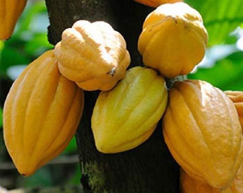 FERRY Bio-Saatgut Nicht nur Pflanzen: 1 Cacao - Schokolade -Theobroma Criollo 20