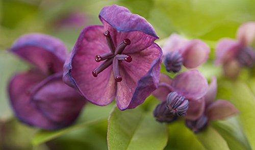 Akebia Trifoliata 5 Samen, Schokoladenwein Samen,Klettergurke
