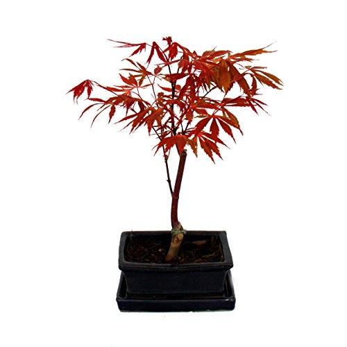 Exotenherz - Bonsai Japanischer Fächerahorn - Acer palm. atropurpureum 15cm eckige Schale