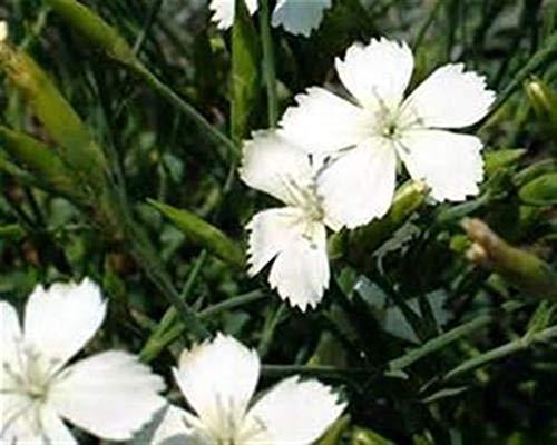 Dianthus Deltoides 1 Stück White Bodendecker Heide-Nelke winterhart T9x9