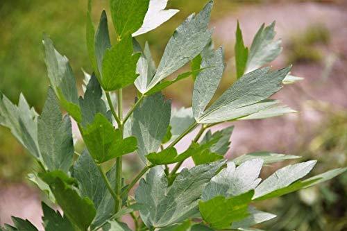 FERRY Bio-Saatgut Nicht nur Pflanzen: 40k Samen oder 4: Stöckel, Levisticum, Maggi, Non-GMO, Variety Größen, by