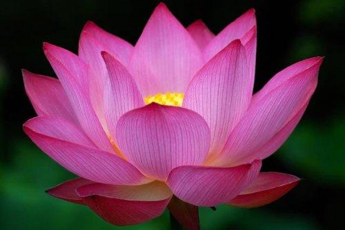Liveseeds - Mini rose Bonsai Lotus / Water Lily Flower / 5 graines fraîches