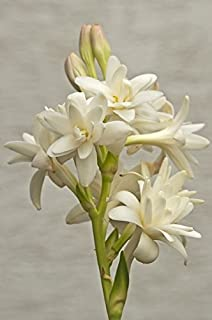 Polianthes, Mole, Nardo, Tuberosa, Tuberose The Pearl - 2 bulbos