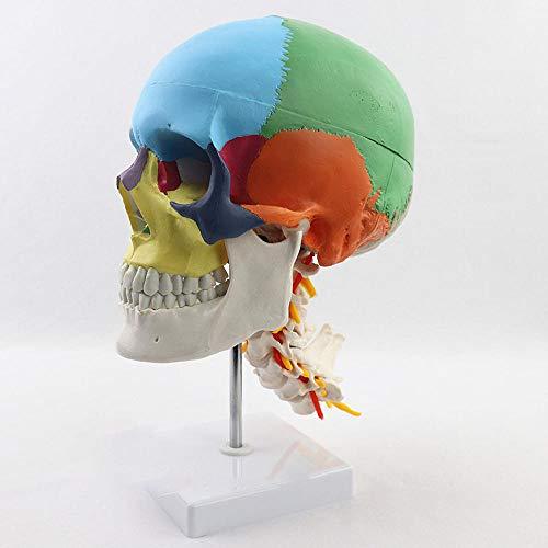 Filoviria Modelo Cráneo Ciencia Humana Modelo Coloración Enseñanza Pvc Modelo Separación Sexo Cráneo Color Con Vértebra Cervical Anatomía Enseñanza Medicina Aprendizaje Suministros