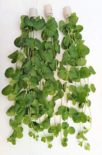 Extra gross 40cm Lysimachia nummularia Pfennigkraut Aquarienpflanze Teichpflanzen