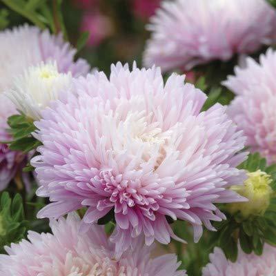 Derlam Samenhaus-10 Pcs Aster Kingsize Appleblossom Aster Saatgut exotische Samen Bio Blumensamen mehrjährig winterhart für Garten
