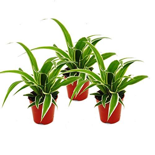 Exotenherz - Chlorophytum Mini, 3er Set,...