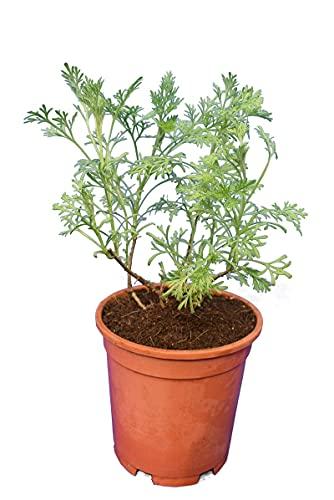 Eberraute Cola-Strauch - Artemisia abrotanum Cola - Gesamthöhe 25-35 cm - Topf Ø 15 cm