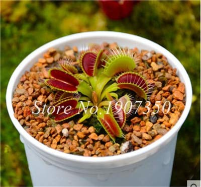 Shopmeeko Graines: Bonsai 100 Pcs/Sac Moucherolle Rare Rillettes Mixte insectivores Bonsai Plante Dionaea géant clip Dionée bateau libre: 2