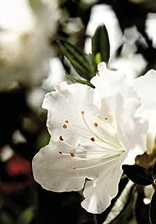 Best dwarf evergreen azaleas Reviews