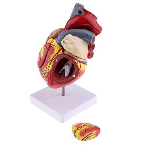 FLAMEER Modelo Corazón Humano Adecuado Uso Médico Educativo Comprensión Ventrículos Atrios Válvulas