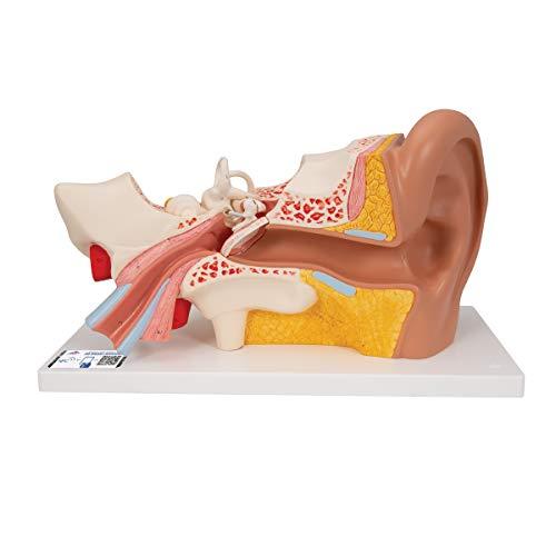 3B Scientific  E10 Modelo de anatomía humana Oído, 3 Veces Su Tamaño Natural, 4 Piezas + software de anatomía gratuito - 3B Smart Anatomy