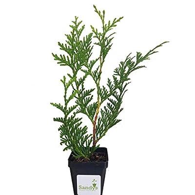 Sandys Nursery Online Thuja Green Giant Arborvitae