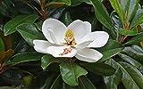 Pianta di Magnolia Grandiflora in vaso ø18 cm h.60/80 cm magnolia sempreverde