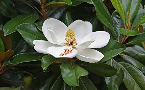 Magnolia grandiflora pianta sempreverde in vaso ø18 cm